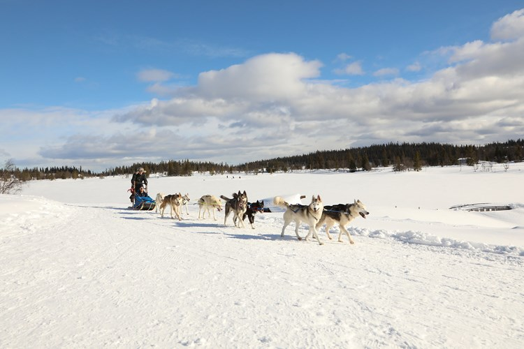 Dog mushing with Valdres Villmarkssenter. Winter adventures at Fagernes Camping.